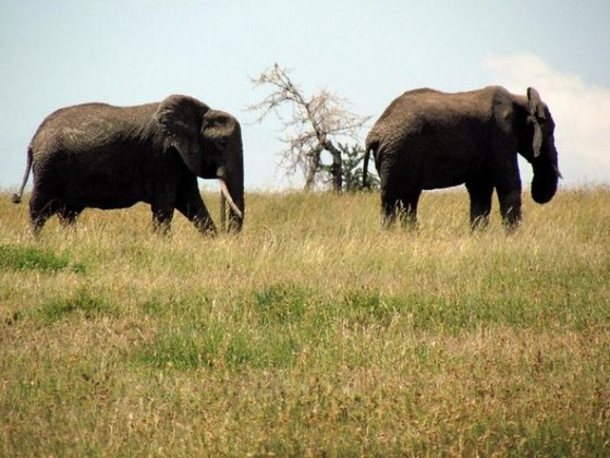 African elephants are the largest land animals