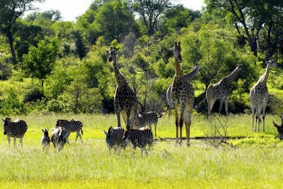 Giraffes and zebras in Kruger National Park