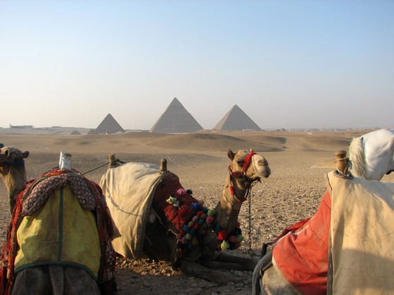 Camels resting near the pyramids