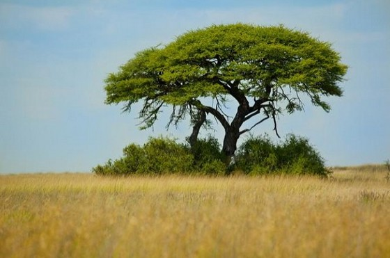 African savanna tree