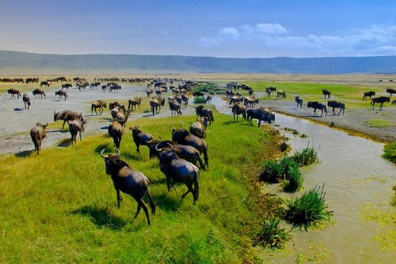 Wildebeest at watering place