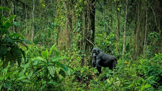 African gorilla in the forest