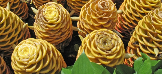 Bombon flower from Colombia