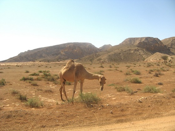 Lone camel in a desert at Dubai
