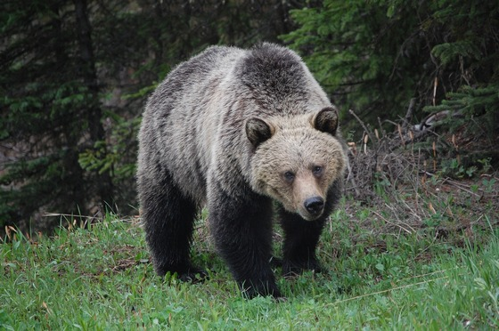 Grizzlies are found in North America