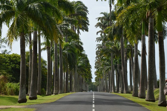 Palm lined avenue in Guadeloupe
