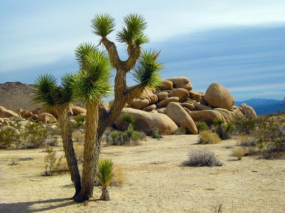 A Joshua tree next to rocks in Joshua Tree National Park.