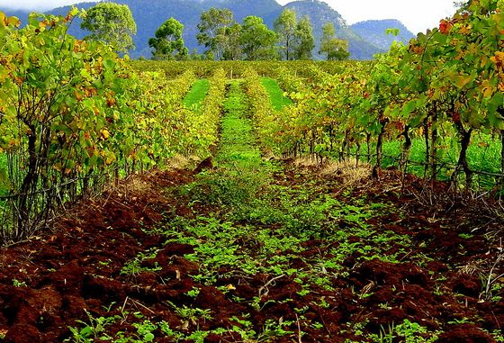 Vineyard in Hunter Valley