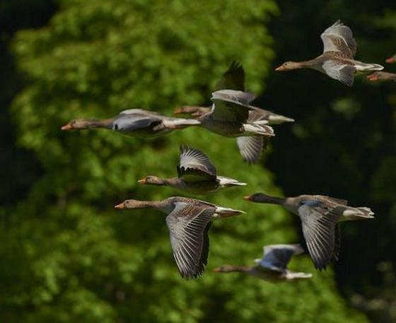 A flock of wild geese flying in woodlands