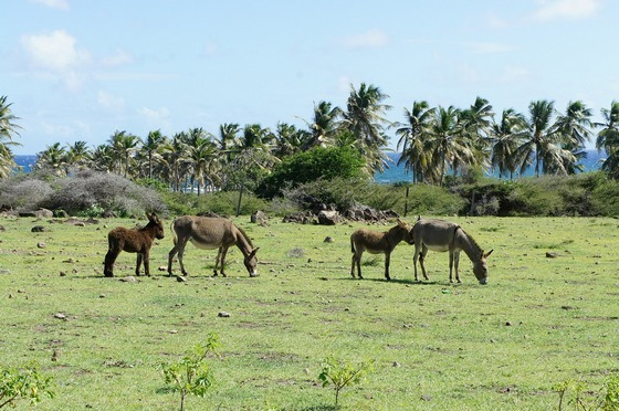 Green paddock on Nevis and St. Kitts island