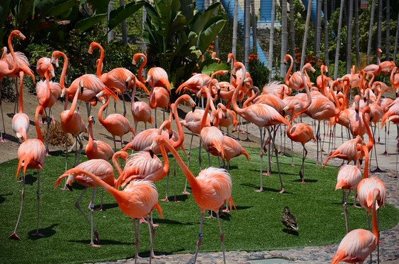 Pink flamingos at San Diego Zoo