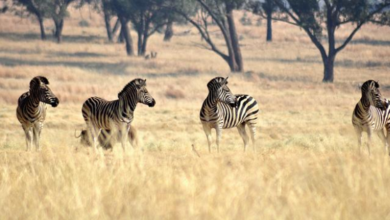 Zebras at a National Park in South Africa