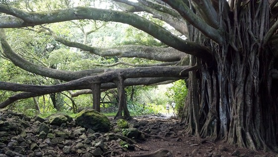 A large bunyan tree in Hawaii